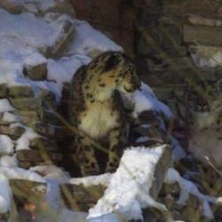 В казанском зоопарке скончался последний снежный барс