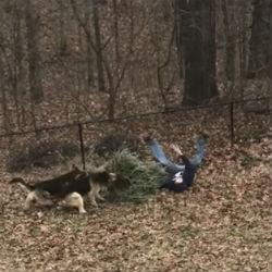 ВИДЕО с собаками, которые не дают выбросить ёлку, собрало 23 млн просмотров