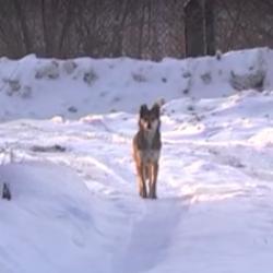 В Нижнекамске стая псов загрызла домашних птиц и животных