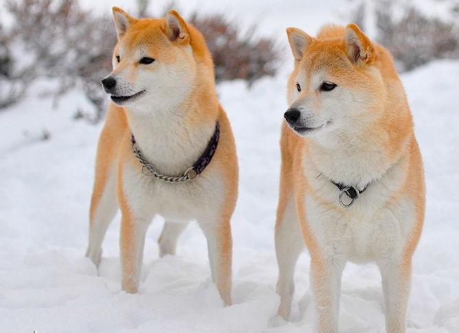 Глава Ассоциации сохранения чистоты породы Акита подарит Алине Загитовой собаку ее мечты