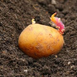 В 14 районах Татарстана выявлено карантинное заболевание картофеля