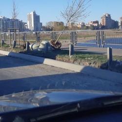День сурка на Ленинской дамбе: здесь снова сажают черемуху