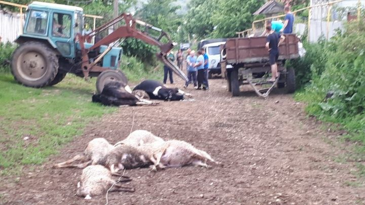 В Зеленодольском районе молния убила четыре коровы и восемь овец (ВИДЕО)