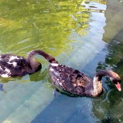 Лебедя Одиллию из парка