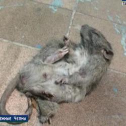 Жителей 50 комплекса в Набережных Челнах терроризируют крысы (ВИДЕО)