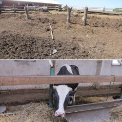 В Чистопольском районе Татарстана бык насмерть придавил пьяного хозяина