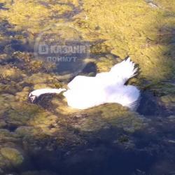 Причиной смерти жившего на озере Кабан лебедя стало отравление