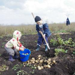 Как сохранить картофель до самой весны