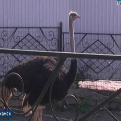 В Нижнекамске поймали страуса, который совершил дерзкий побег из местного зоопарка (ВИДЕО)