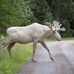 На трассе в Елабужском районе сбили лося