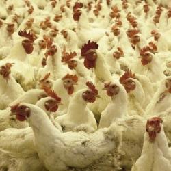 В Зеленодольске на простаивающем предприятии нашли 80 тонн протухшей курятины