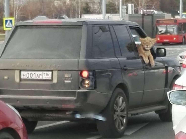Львенок на переднем сидении авто вновь удивил казанцев (ФОТО)